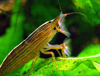 Bamboo Shrimp: Facts, Characteristics, Habitat and More