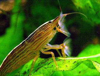 Bamboo Shrimp: Facts, Characteristics, Habitat and More