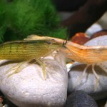 Bamboo Shrimp3