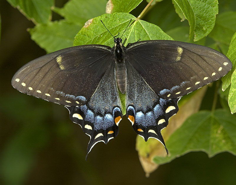 Black Swallowtail: Facts, Characteristics, Habitat and More