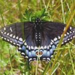 Black Swallowtail2
