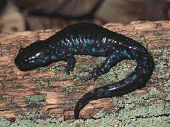 Blue Spotted Salamander: Facts, Characteristics, Habitat and More