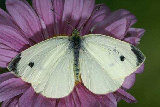 Cabbage White Butterfly: Facts, Characteristics, Habitat and More
