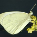 Cabbage White Butterfly1