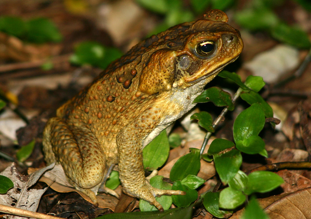 Cane Toad: Facts, Characteristics, Habitat and More