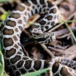 Eastern Massasauga Rattlesnake2
