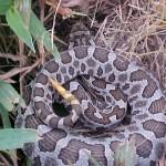 Eastern Massasauga Rattlesnake3