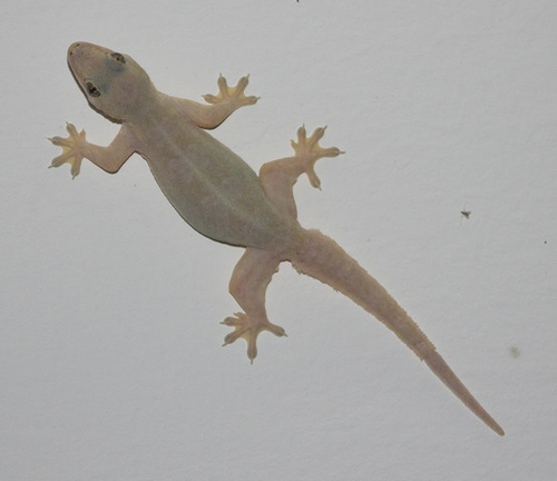 House Gecko: Facts, Characteristics, Habitat and More