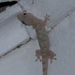 House Gecko1