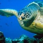 Leatherback Turtle1