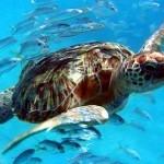 Leatherback Turtle2