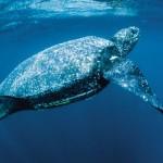 Leatherback Turtle3