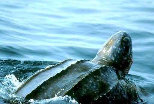 Loggerhead Sea Turtle: Facts, Characteristics, Habitat and More