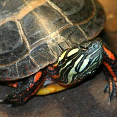 Painted Turtle: Facts, Characteristics, Habitat and More