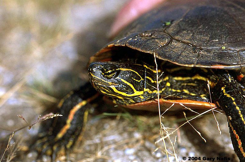 Painted Turtle Facts Characteristics Habitat And More