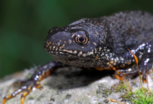 Palmate Newt: Facts, Characteristics, Habitat and More