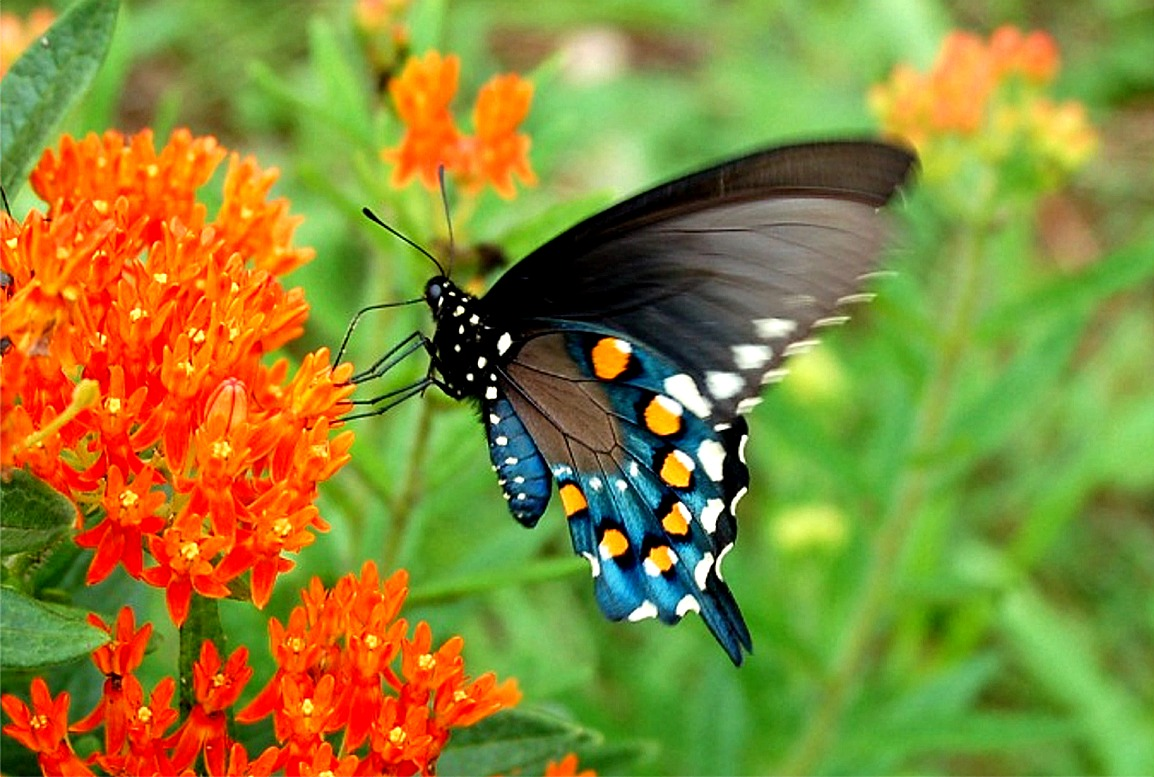 Pipevine Swallowtail: Facts, Characteristics, Habitat and More
