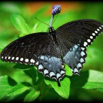 Pipevine Swallowtail1