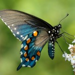 Pipevine Swallowtail2
