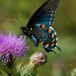 Pipevine Swallowtail3