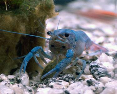 Procambarus Alleni: Facts, Characteristics, Habitat and More