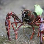 Procambarus Clarki