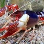 Procambarus Clarki1