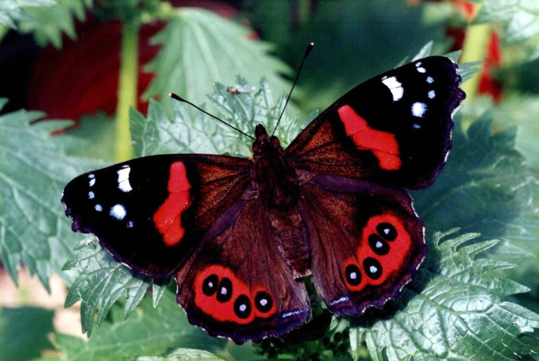 Red Admiral: Facts, Characteristics, Habitat and More