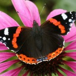 Red Admiral1