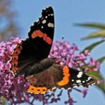 Red Admiral3
