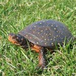 Spotted Turtle4