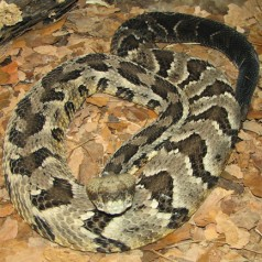 Timber Rattlesnake: Facts, Characteristics, Habitat and More