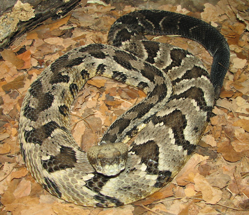 Timber Rattlesnake: Facts, Characteristics, Habitat and More