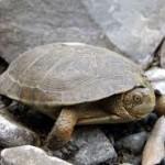 Western Pond Turtle 2