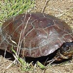 Western Pond Turtle 4