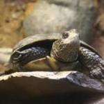 Western Pond Turtle 5
