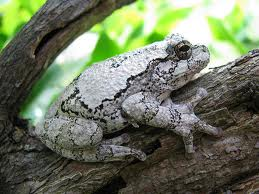 Gray Tree Frog: Facts, Characteristics, Habitat and More