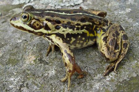 Pool Frog: Facts, Characteristics, Habitat and More
