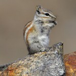 Alpine Chipmunk1