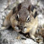 Alpine Chipmunk3