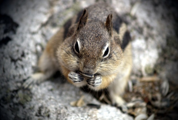 Alpine Chipmunk: Facts, Characteristics, Habitat and More