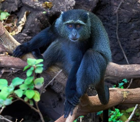 Blue Monkey: Facts, Characteristics, Habitat and More