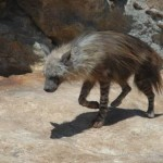 Brown Hyena3