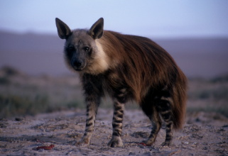 Brown Hyena: Facts, Characteristics, Habitat and More