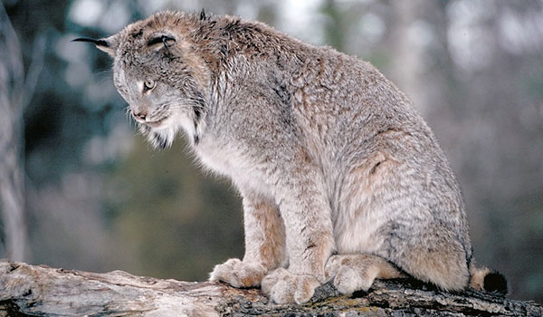 Canada Lynx: Facts, Characteristics, Habitat and ore