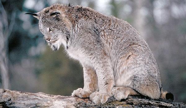 Canada Lynx: Facts, Characteristics, Habitat and ore