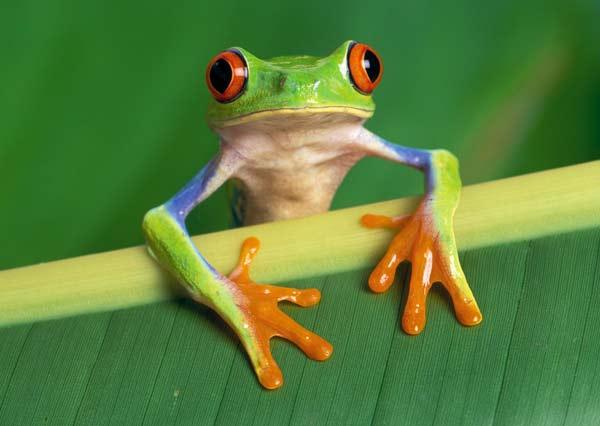 Green Tree Frog: Facts, Characteristics, Habitat and More   Animal ...