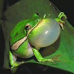 Green tree frog2