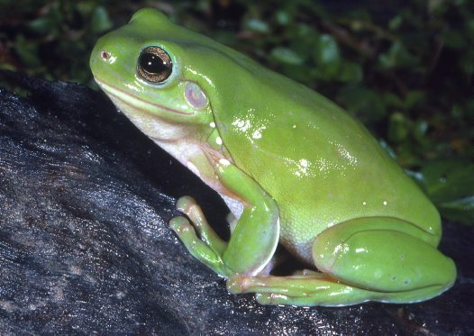 Green Tree Frog: Facts, Characteristics, Habitat and More