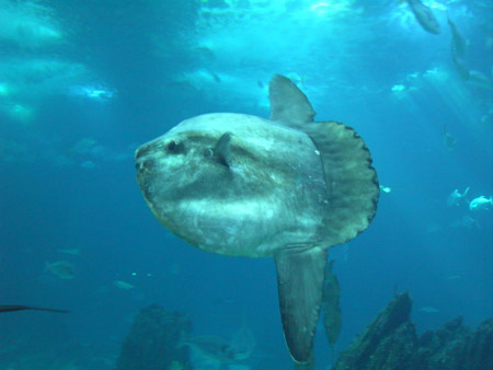 Ocean Sunfish: Facts, Characteristics, Habitat and More
